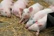 Ящур у овец в амурском селе не подтвердился, но теперь в зоне риска свиноферма