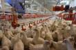 Цех по переработке мяса птицы открыли в Дагестане