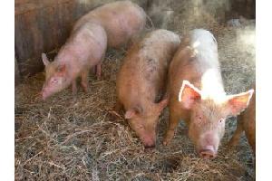 Амурским свиноводам выплатят 8 миллионов рублей за уничтоженное поголовье
