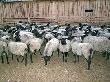 В Новгородской области открыто крупное овцеводческое хозяйство