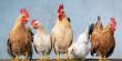 Еще 8 российских производителей мяса и субпродуктов птицы допущены к экспорту в Китай