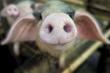 США. Экспорт свинины в июле подешевел