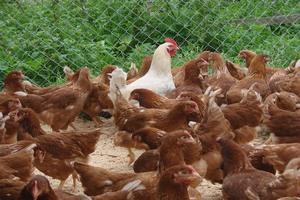 Мнение: Украина «завалит» Европу дешевым мясом птицы