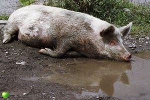 В Японии при пожаре сгорели более трех тысяч свиней