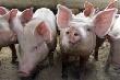 В Волгоградской области уничтожается свиноводство