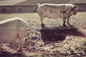 Независимые эксперты нашли серьезные нарушения в документации на строительство крупного свинокомплекса в Минской области