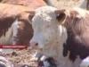 В Липецкую область завезли 7 тысяч племенных бычков из Австралии