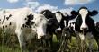 Дагестан: рост производства говядины возможен в среднесрочной перспективе