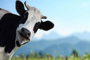 На базе ДонГАУ заробатает молочный комплекс на 450 голов КРС