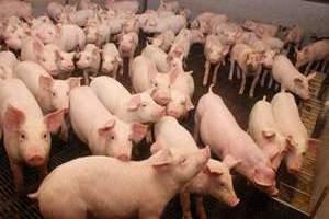 В Калининградской области при пожаре на складе погибли свиньи