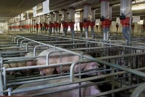 В Комсомольске-на-Амуре могут построить свинокомплекс