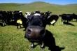 В Коми есть все предпосылки для развития племенного животноводства