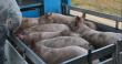 Орлянский свинокомплекс отгружает первые партии продукции на Курский мясоперерабатывающий завод