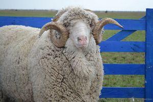 В Кыргызстане в целях возрождения тонкорунного овцеводства и создания условий для увеличения производства шерсти разработали концепцию на 2015-2020 годы.