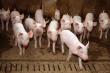 Вспышка африканской чумы свиней: Россельхознадзор проверяет фермы в Бурятии