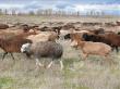 Овцеводство намерены развивать в селекционном центре «Волгоград-Эдильбай» и племрепродукторе «Камышинское»