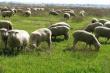 Овцеводческий комплекс на 100 тыс. голов появится в Курской области