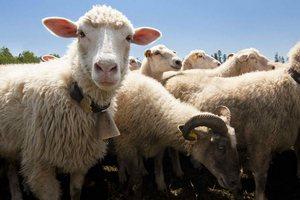 В Рязанской области открылась ферма на 1000 голов мелкого рогатого скота