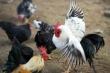 Великобритания: корм для кур можно получать из отходов производства биотоплива