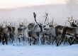 Оленеводов Ловозерского района вынуждают уничтожать собственных оленей