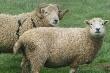 Росагролизинг поставил овец аграриям