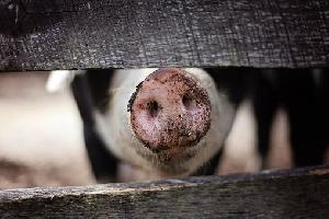 Тюменский свинокомплекс «Согласие» вновь привлечен к ответственности