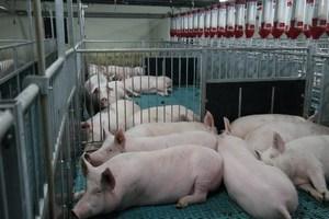 На Кубани отменили карантин по АЧС на свинокомплексе «Развильненский»