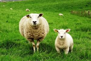 В английском городе Скиптон прошел ежегодный аукцион по продаже пастушьих собак
