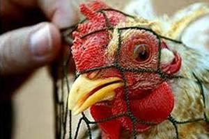 В Мексике ожидается рост производства мяса птицы несмотря на птичий грипп