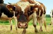 В Томской области сократилось поголовье коров — Томскстат