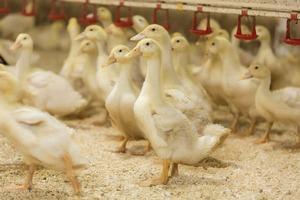 В Бурятии могут появиться утиная ферма и завод по производству плавленных сыров