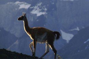 Минздрав Боливии призвал граждан страны употреблять в пищу мясо ламы