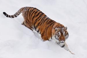 """""""СОГАЗ"""" застраховал домашних животных на Дальнем Востоке от нападений тигров и леопардов"""