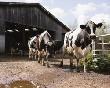 На приобретение коров для фермы потребуется 22% совокупных инвестиций