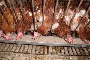 Птицеводство в Кыргызстане на грани дефолта