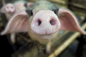 Венгерский производитель свинины MCS Vagohid Zrt. намерен расширить производство