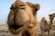 В Астраханской области растёт поголовье верблюдов