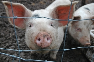 Приднестровье ограничило импорт мяса из Украины в связи со вспышками чумы свиней