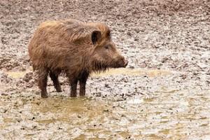 Под Киевом из-за чумы свиней ввели карантин