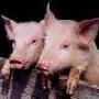 «Агроимпорт» в октябре начнет строить в Воронежской области свинокомплексы