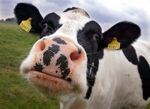 Шестая вспышка бруцеллеза скота выявлена в Ростовской области