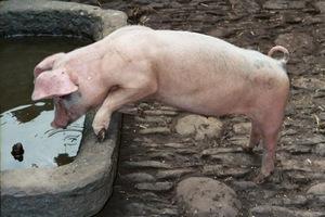 Фермеры из карантинной зоны по АЧС в Польше не находят рынка сбыта свинины