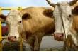 Металлурги Аши завершают заготовку сочных кормов