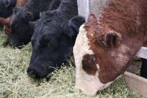 Использование антибиотиков в корме для животных повышает выбросы парниковых газов