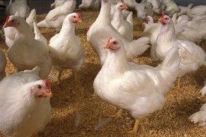 Птицеводы Ганы получили компенсацию потерь, понесенных в результате недавних вспышек птичьего гриппа