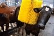 Животноводческий комплекс с массажерами для коров открыли в Кузбассе