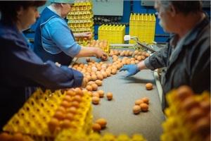 Украина должна доказать эквивалентность системы контроля, чтобы возобновить экспорт яиц в Израиль - Госпродпотребслужба