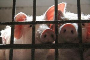 Крымские фермеры просят президента защитить свиней