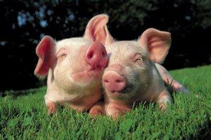 Производство продукции свиноводства за 11 месяцев текущего года увеличилось на 9,3%