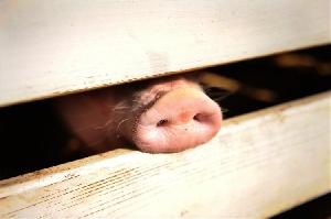 Польские фермеры не дают убивать здоровых свиней